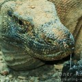 Dragonul Komodo