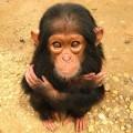Cimpanzeul