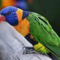 Papagal curcubeu