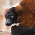 Lemur rosu cu guler
