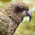 Papagalul Kea