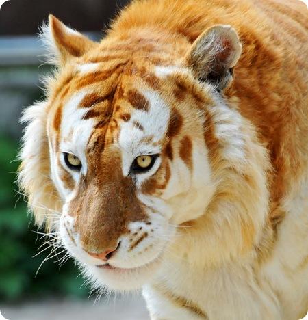 pierderea în greutate a ochiului tigrului)