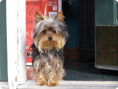 Yorkshire Terrier: fotografie câine, descrierea rasei, selecția câinilor