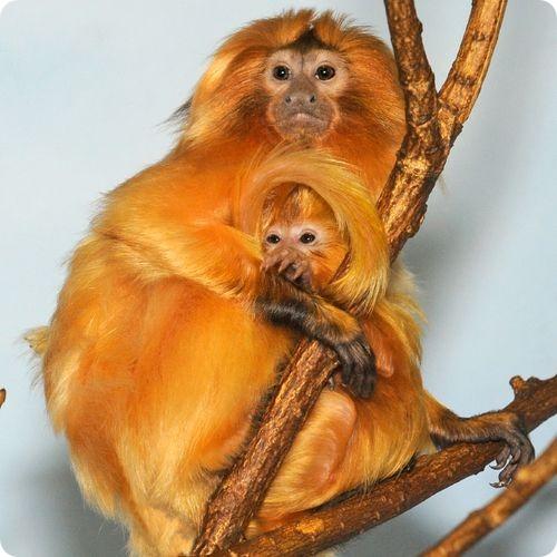 pierderea în greutate maimuță arderea mai eficientă a grăsimilor