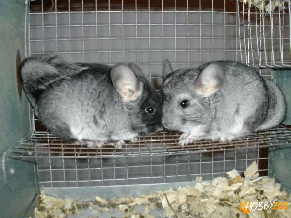 Crescatorie Chinchilla
