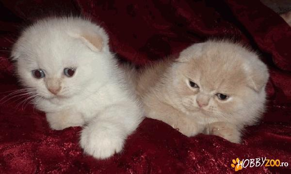 Scottish fold alb
