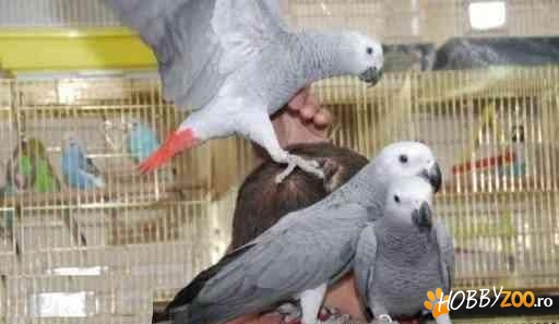 papagal Congo African Grey