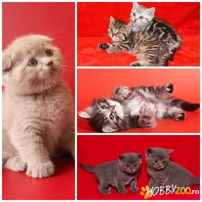 BRITISH SHORTHAIR de VANZARE