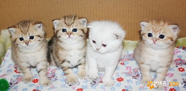 British Shorthsir, Scottish Fold 7-