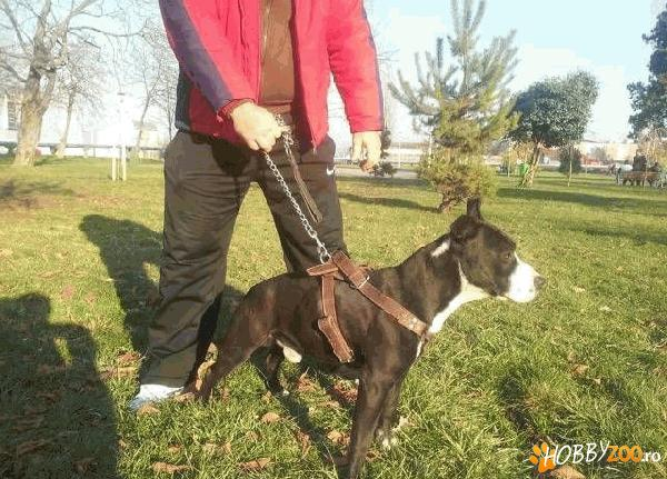 american staffordshire terrier masc