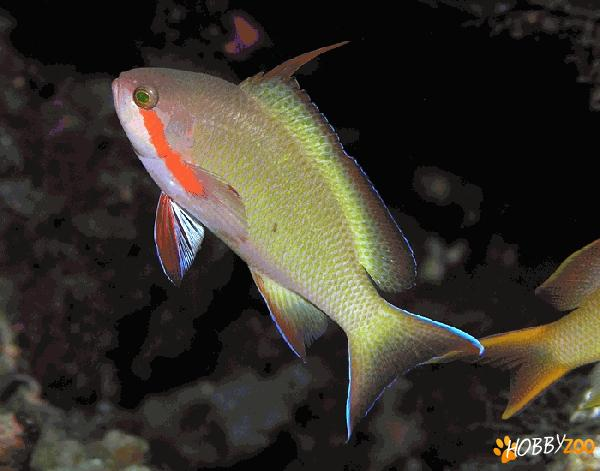 Pesti Threadfin anthias