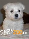 pui west highland white terrier