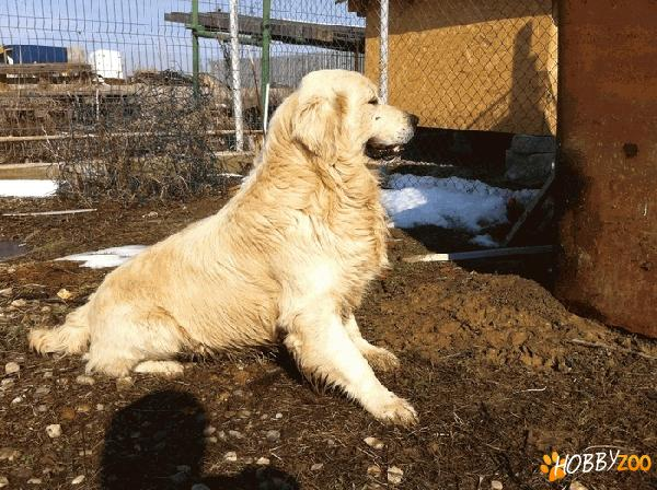 Monta Golden Retriever Pitesti