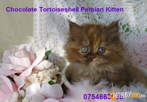 Pisici Chocolate TORTIE SMOKE
