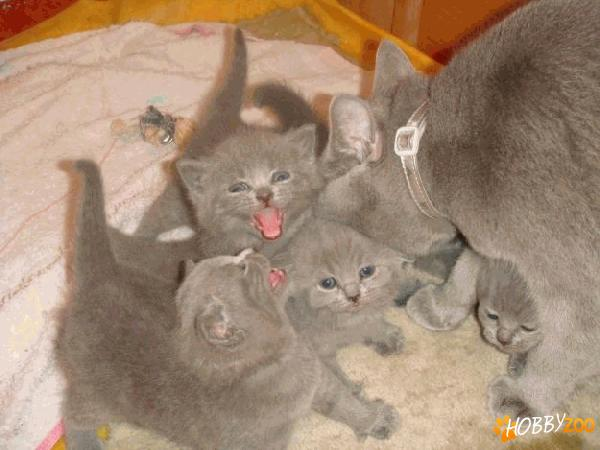 Pisicile British shorthair