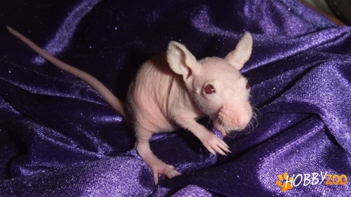 Sobolani Mock Hairless Rat
