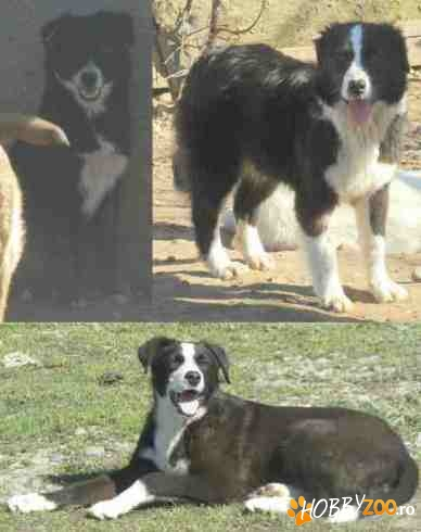 Ofer 	Ofer metisi BORDER COLLIE