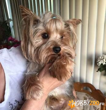 mascul yorkshire terrier vaccinat