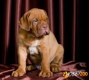 mascul dog de bordeaux