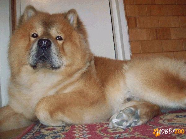 Monta  mascul CHOW CHOW