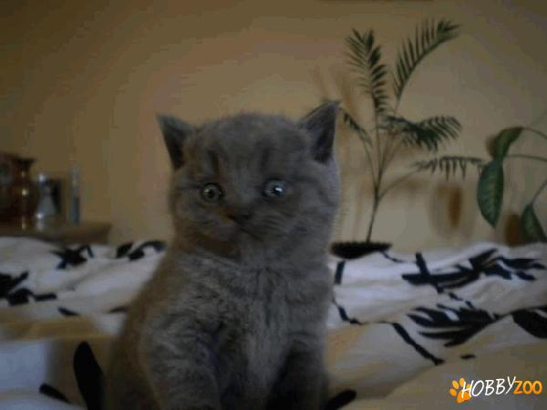 Vindem pisicute British Shorthair
