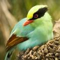 Corbul verde