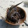 Crabi potcoava