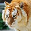 Tigrul auriu