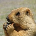 Marmota de Himalaya
