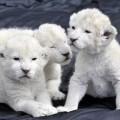 Leul alb